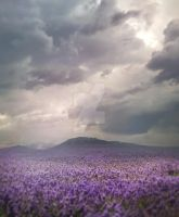 Violet field - stock by Consuelo-Parra