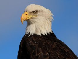 Bald Eagle Portrait by Folkeye