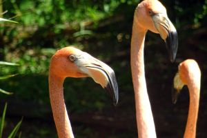 flamingoes by Mittelfranke