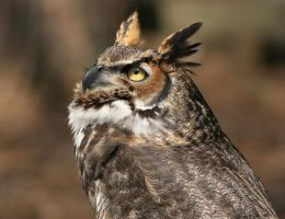 Great Horned Owl 20D0034757 by Cristian-M