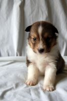 sheltie pup on white by fewofmany