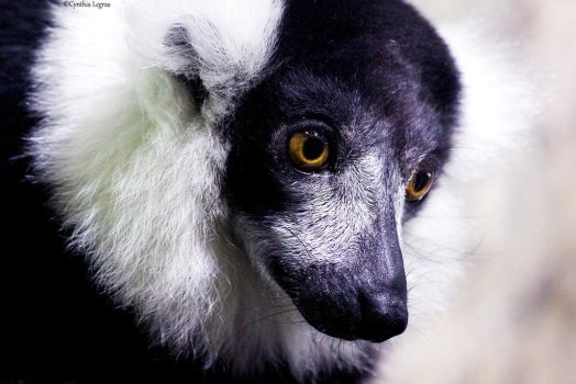 Black and White Lemur by cindy1701d