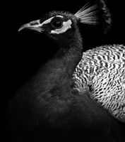 Peacock bw by GilbertUndGilbird