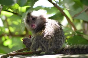 Cotton Eared Marmoset by CharlyJade