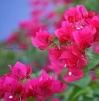 pink and blue,., by burcyna