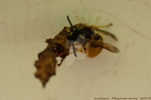 Wasp eating moth cocoon by Lunapic