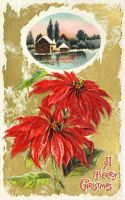Mrs. Beckley's Poinsettias by Yesterdays-Paper