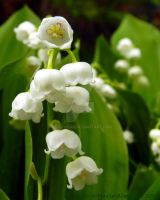 Lily of the Valley by Keziamara