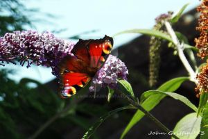 Butterfly by Jagman48