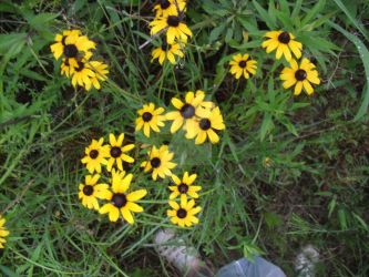 Susans by JennysTags