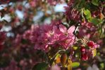 Pink flower cluster by Meagharan