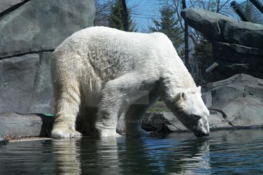 Polar Bear by Ayjah
