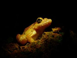 Blyth's Giant Frog by jitspics