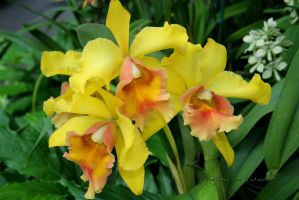 Yellow-Orange Orchids by desmo100