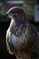 Not Such A Common Buzzard by WorldII