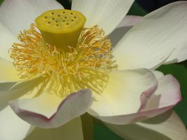 Lotus by Fairling
