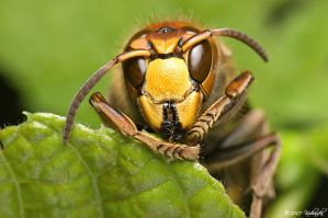 Vespa crabro by Dark-Raptor