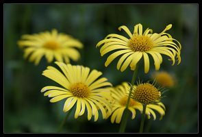Yellow flowers by Chevees