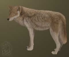 Broun wolf by RachelWolf