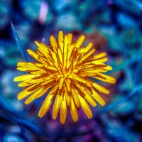 Dandelion color fun by Mackingster