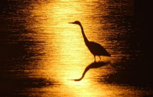 Heron by epiphyte78