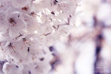Blossoms 01 by JArdley