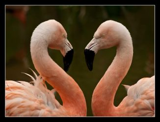 Flamingoes by Alexandra35