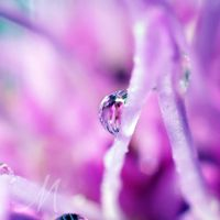 Lilac drop by InLightImagery