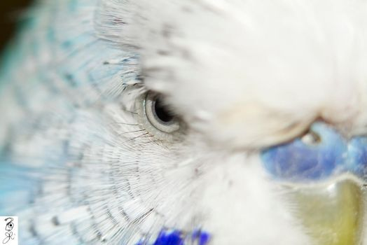 The Eye of The Budgie by The-Dude-L-Bug