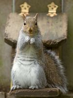 Eastern gray squirrel 47 by EasternGraySquirrel