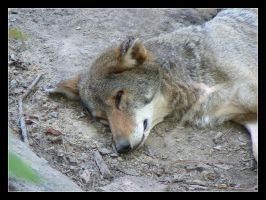 Coyote by girlinterrupted