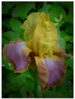Mom's Yellow and Purple Iris by Miss-A-sketches