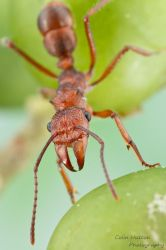 Ant - Ectatomma sp. by ColinHuttonPhoto