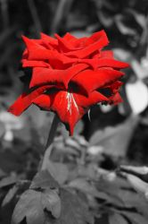 Red rose by pueng2311