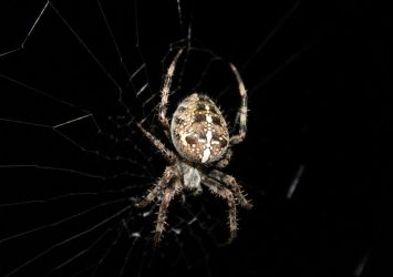 The Garden Orb Weaver by PhotoDrive