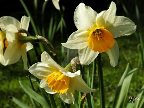 Spring Daffodils by domwlive