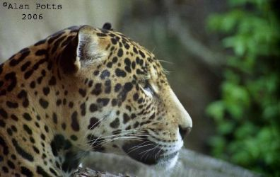 Leopard close-up. by transcendence1