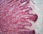 Microscope: Dog Stomach Closer PS by Soldeen111