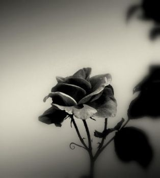 Dark-rose by lostknightkg