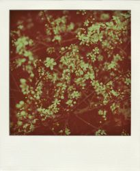 flowers polaroid by LeaHenning