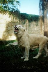 White Lion by hinsbins