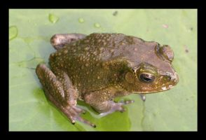 Frog 1 Came out to Play by joywalker