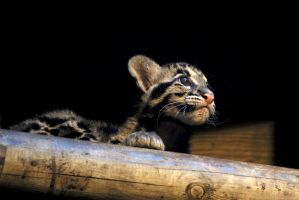 Clouded Leopard Cubs 3 by robbobert