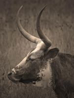 Texas Longhorn by phuchton