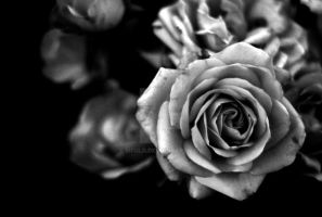 Black and White Rose by mfuld