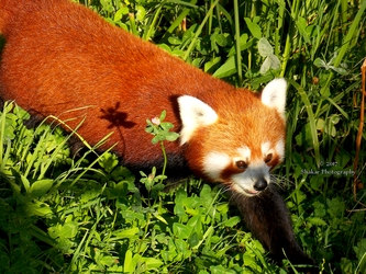 Red Panda by Delragon