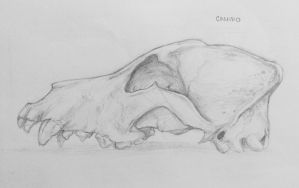 Canine Skull Sketch by Apohe