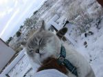 Snow Bengal Cat in Snow 2 by rosswright