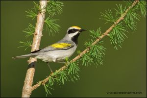 Golden-Winged Warbler by gregster09