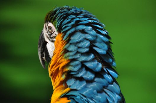Golden Blue Macaw by Timocool
